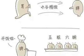 脾与胃的关系